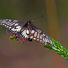 Dainty Swallowtail by Peter Krause