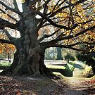 The same old tree at Leiden in 2010 by jchanders