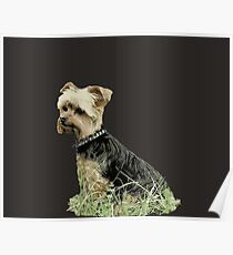 Dog | Portrait fo Guinness | Yorkie | Pets | Dogs Poster