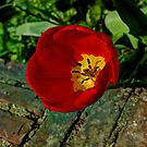 Red Tulip by Ms-Bexy