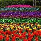 rainbow tulips by dstarj