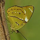Olivewing Butterfly by Robert Abraham