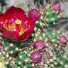 Blooming Cholla by Barbara Manis
