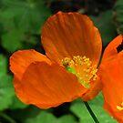 Orange Poppies by ienemien