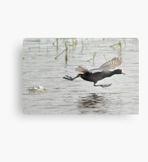 Coot Scoot Metal Print