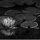 Nymphaea in Schwarz-Weiß von Celeste Mookherjee