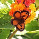 Southern Gatekeeper Butterfly by hummingbirds