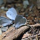 Eastern Tailed Blue Butterfly by Mark Cosgriff