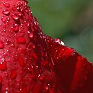 Drenched Red Rose by Robert Armendariz