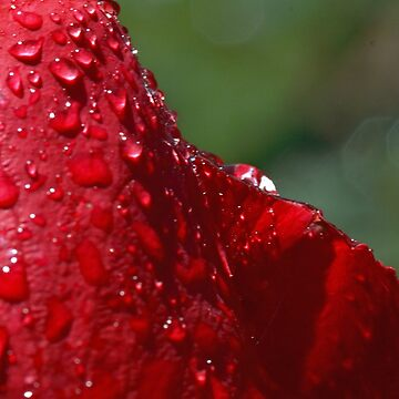 Drenched Red Rose by NinoRobert