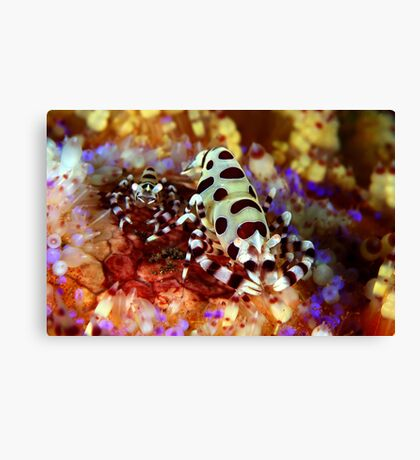 Colemans Shrimp Canvas Print
