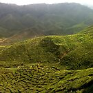 Tea plantation in Malaysian mountains by cocodesigns
