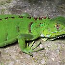 Juvenile Green Iguana by hummingbirds