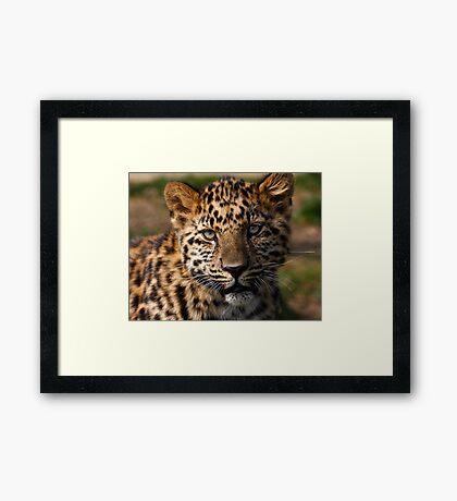 Amur Leopard cub Framed Print