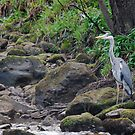 Heron! by dougie1