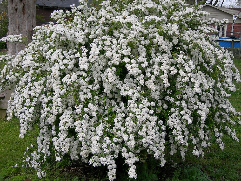 Quot Spirea Bush Quot By Nikonjohnny Redbubble