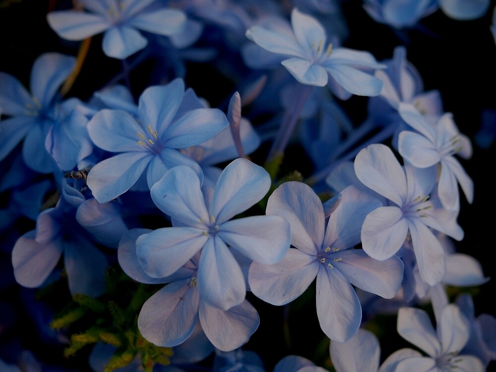 Plumbago Flowers from A Gardener's Notebook by Douglas E.  Welch
