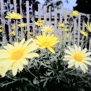 Yellow Daisies and Fence by TerryArts