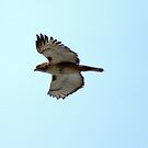 My Hawk in flight... by Larry Llewellyn
