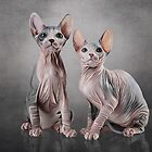 Drawing two cats Sphynx, hairless by bonidog