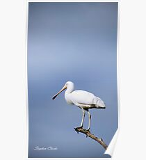 Spoonbill at Herdsman lake Poster