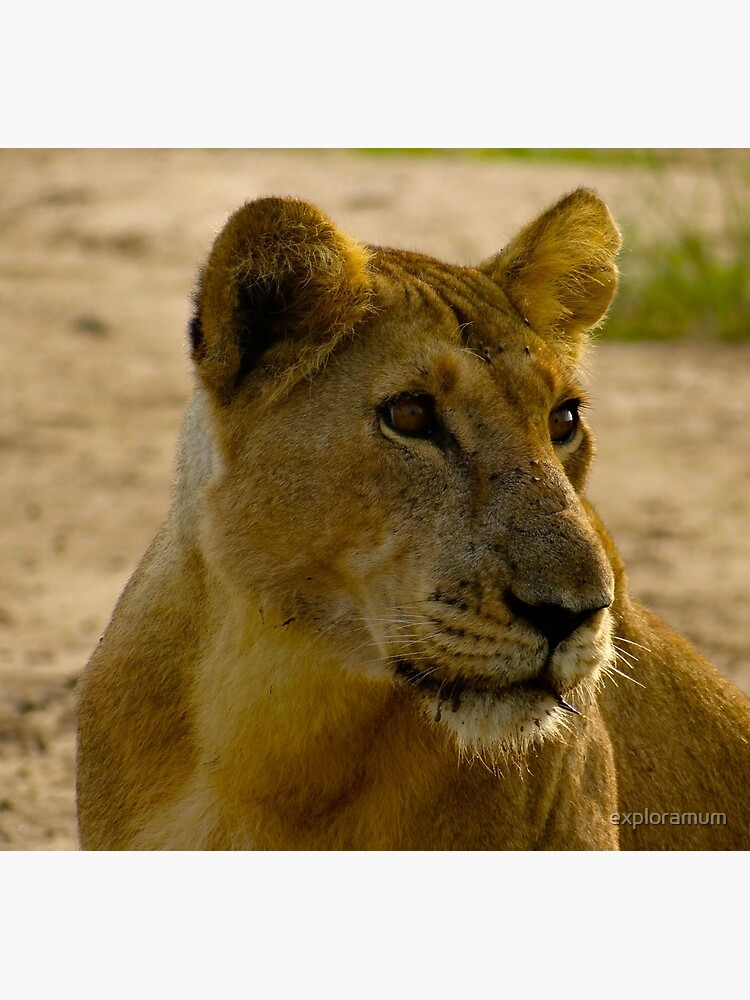 pregnant lioness relaxed by exploramum