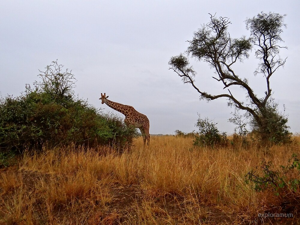 African animals on safari - a child's view of a giraffe by exploramum