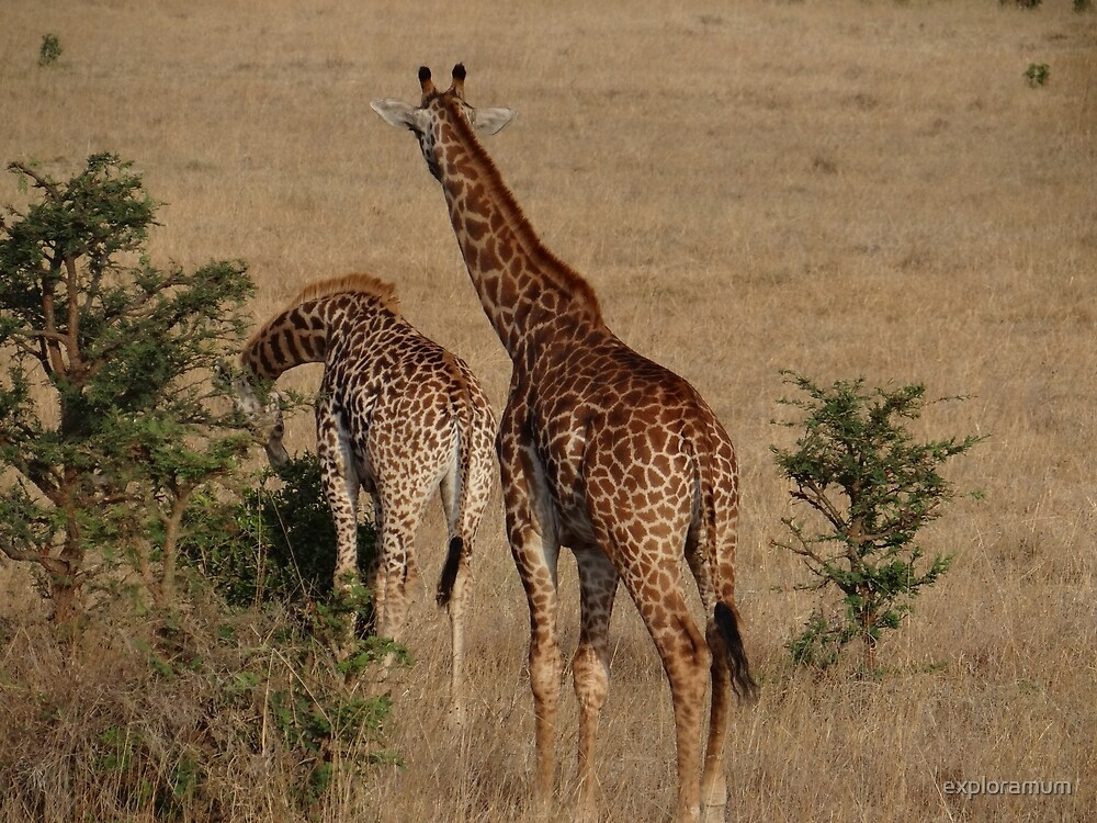 Giraffes on a walk about to eat by exploramum