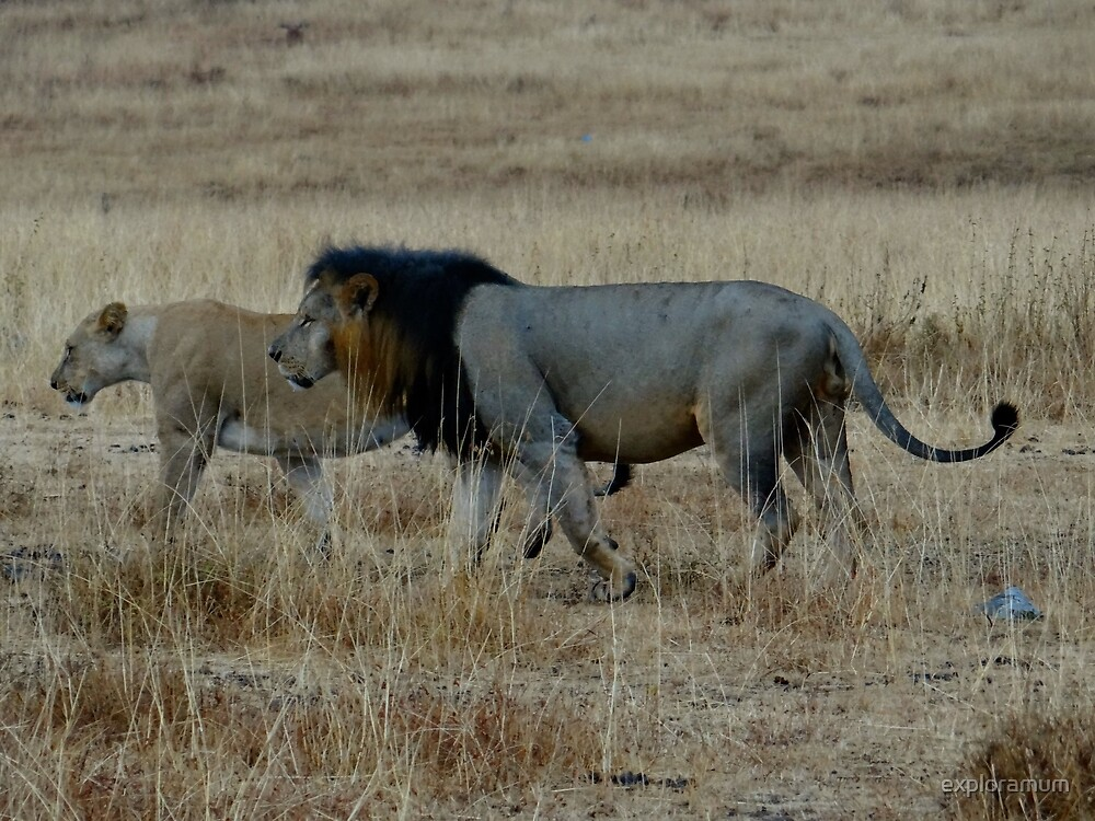 Lion and pregnant lioness walking by exploramum
