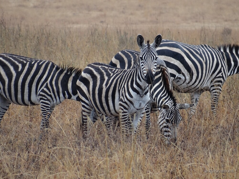 Zebras walking in the grass 2 by exploramum