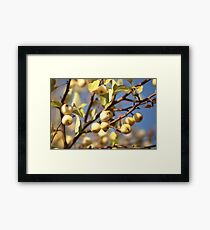 yellow apples  on the tree Framed Print