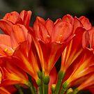 Orange Delight - Kaffir Lily by MotherNature
