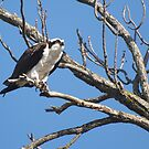 The Discerned Look Of An Osprey. by DigitallyStill