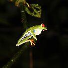 Red-eyed Leaf Frog by hummingbirds