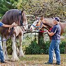 Clydesdales 03 by Yanni