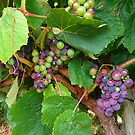 Summer grapes  by Lissie EJ