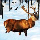 Deer Enjoying the Snow by vette