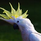 Sulphur Crested Cockatoo revisiting my garden by Bev Pascoe