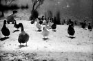 Ducks at Wentworth Falls Lake by JennyMac