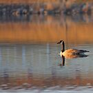 Early Morning Goose by Brian Dodd