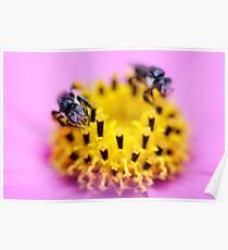 Native bee on a pink flower Poster