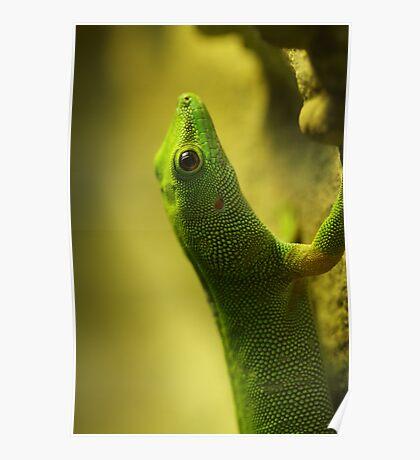 Madagaskan Day Gecko Poster