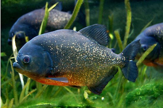 Blue Red Bellied Piranha Fish In Aquarium Photographic Prints By
