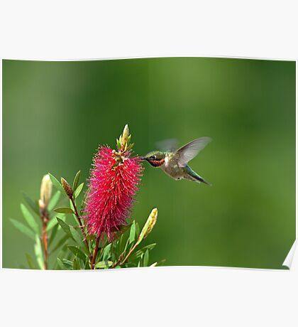 Hummingbird on Bottlebrush Poster