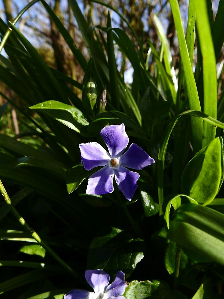 Greater Periwinkle (Vinca major) by IOMWildFlowers