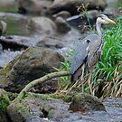 Heron by dougie1