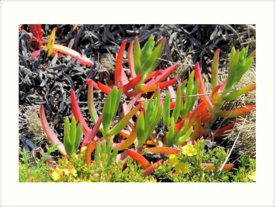 Ice plant, Carpobrotus, Algarve, Portugal by WesternExposure