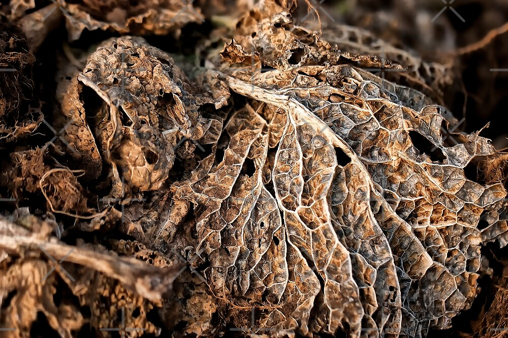 Cabbage leaf by heidiannemorris