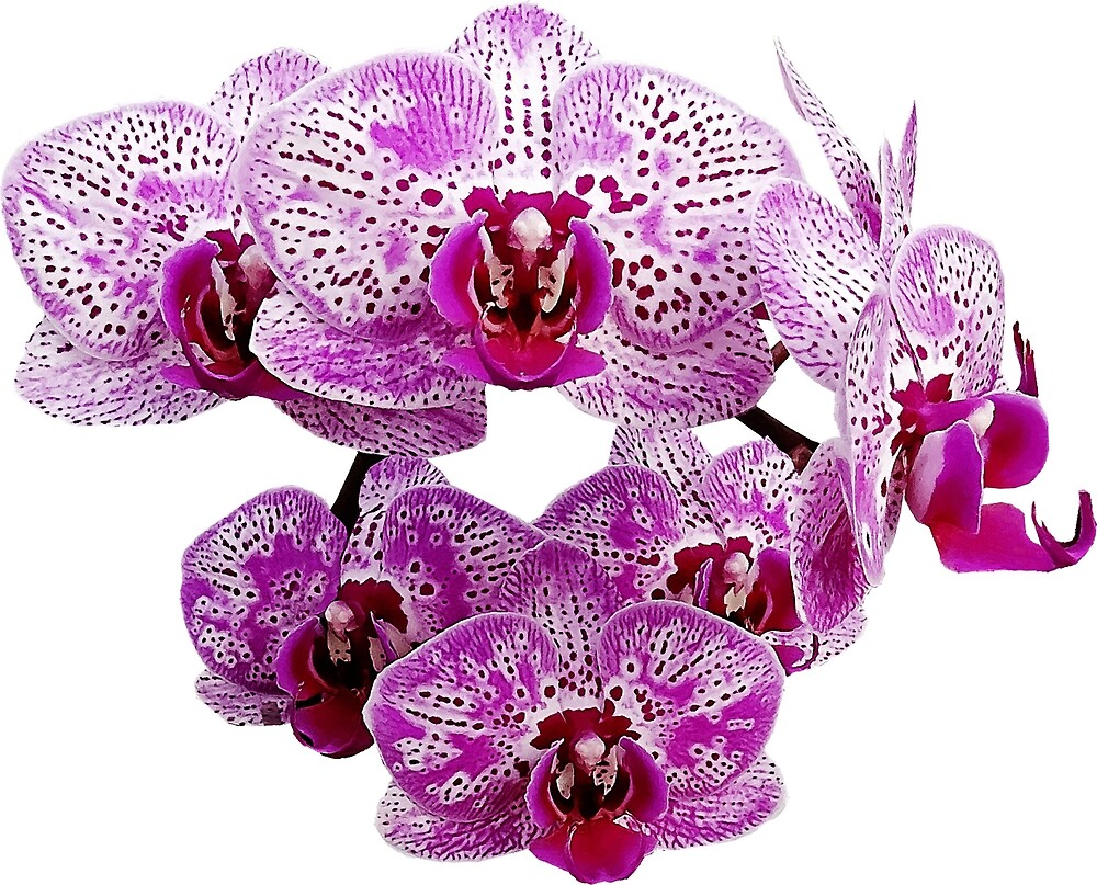 Phalaenopsis OX Happy Girl Orchid by Susan Savad