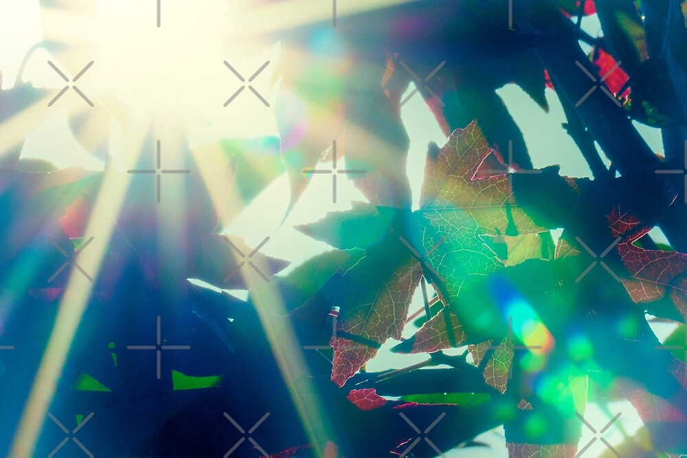 Sunburst through maple leaves by heidiannemorris
